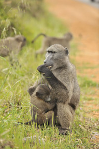 About Baboons