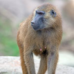 Baboons World.Guinea
