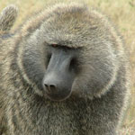Baboons World.Olive Baboon