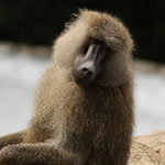 Baboons World.Yellow Baboon2