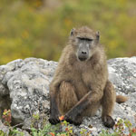 Baboons world.Chacma