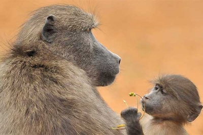 Annual Baboon Management Report Released
