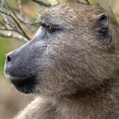 Baboon Technical Team  Information Release – 15 January - Who Manages The Baboons?