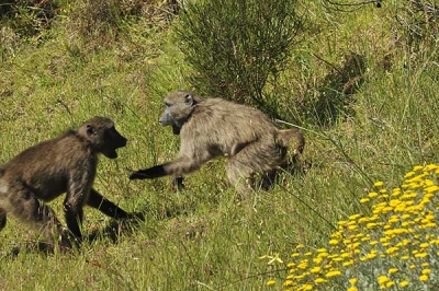 Five Year Synopsis:  Baboon management in Cape Town