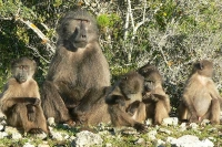 Annual Count for the Managed Baboon Population on the Cape Peninsula