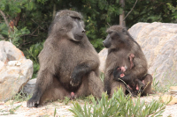 CapeNature endorses City of Cape Town Guidelines for Baboon Management