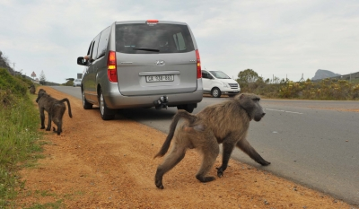 Guidelines for baboon management released