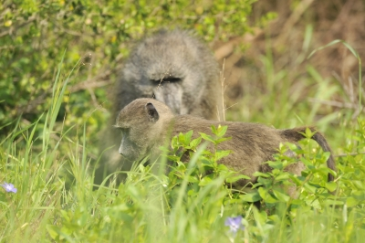 Cape Town condemns the throwing of rocks at baboons
