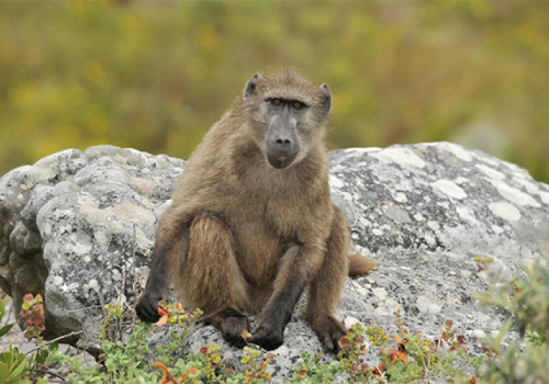 Are baboons vermin?